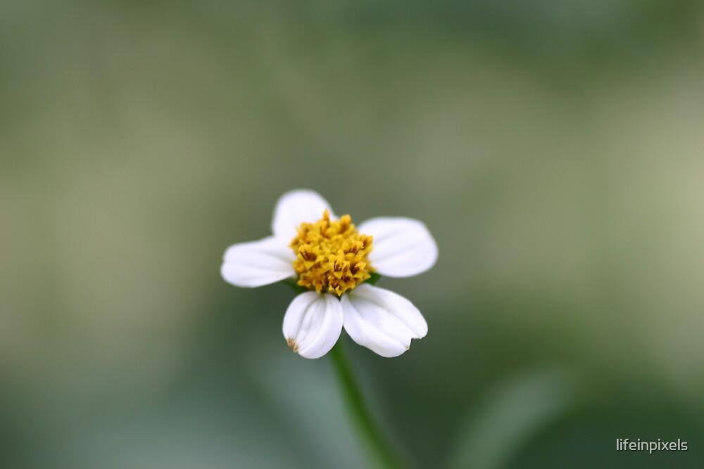 Daisy in flower by lifeinpixels