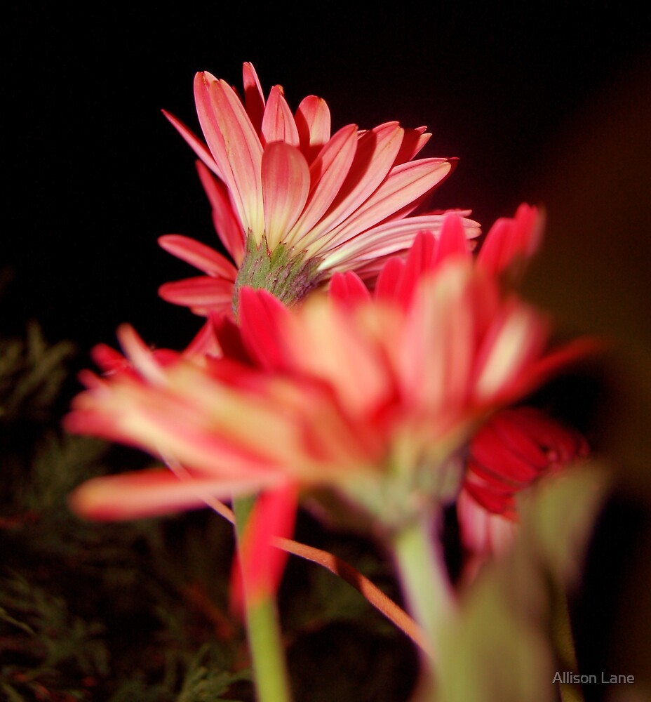 Night Flowers by Allison Lane