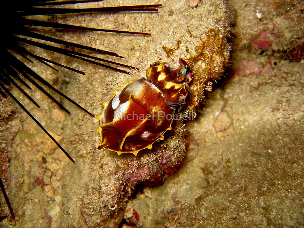 Flamboyant Cuttlefish by Michael Powell