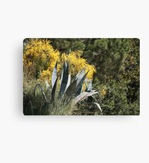 agave Plant with spiny leaves   Canvas Print