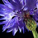 Cornflower by Anna Ridley