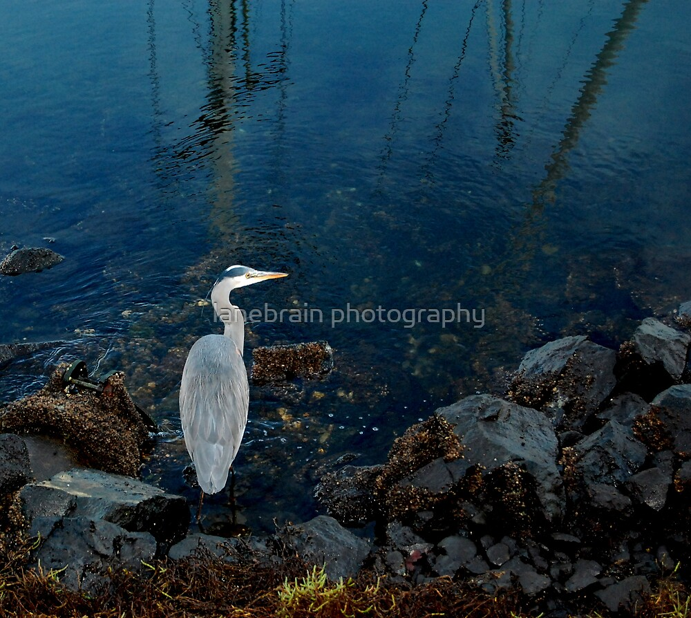 Blue Heron by lanebrain photography