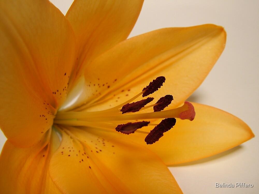 Asiatic Lilium by Belinda Piffero