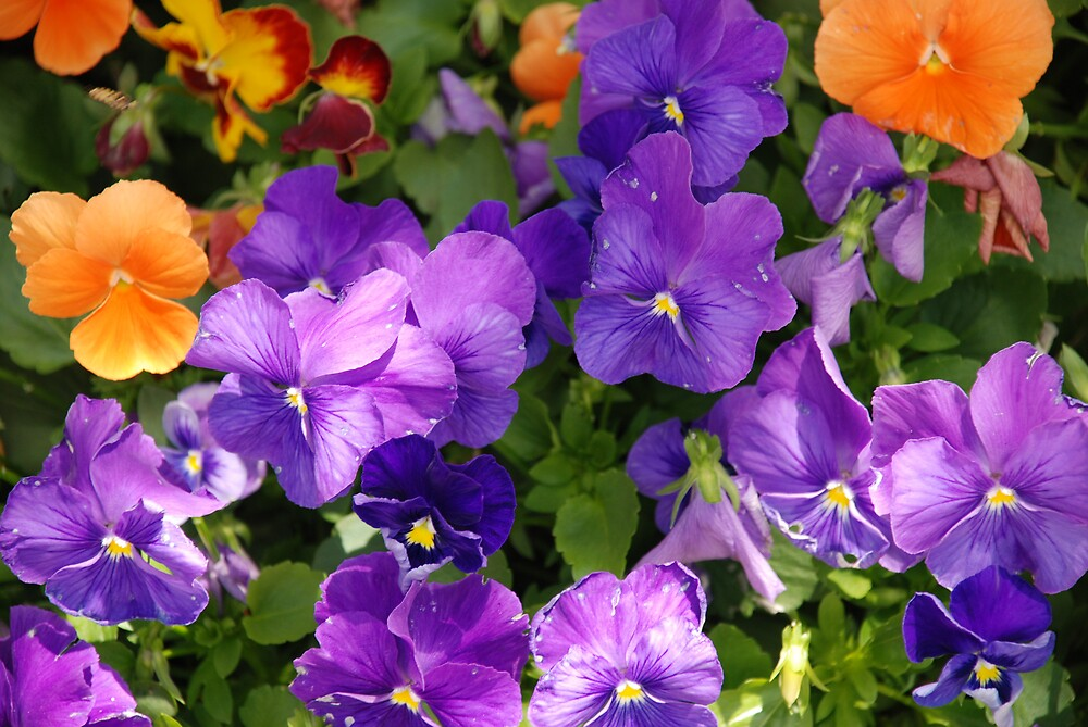 Purple Pansies by Akeg22