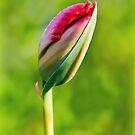 Tulip Emerging by Susie Peek
