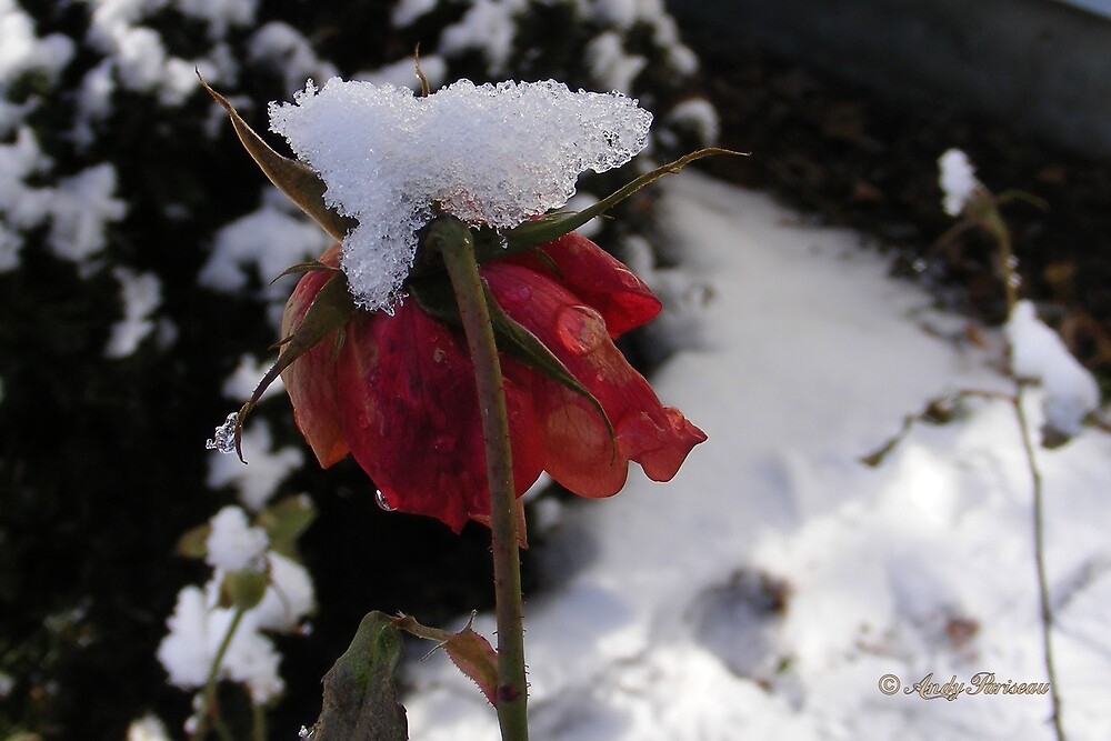Faded Rose in Snow by Andy2302