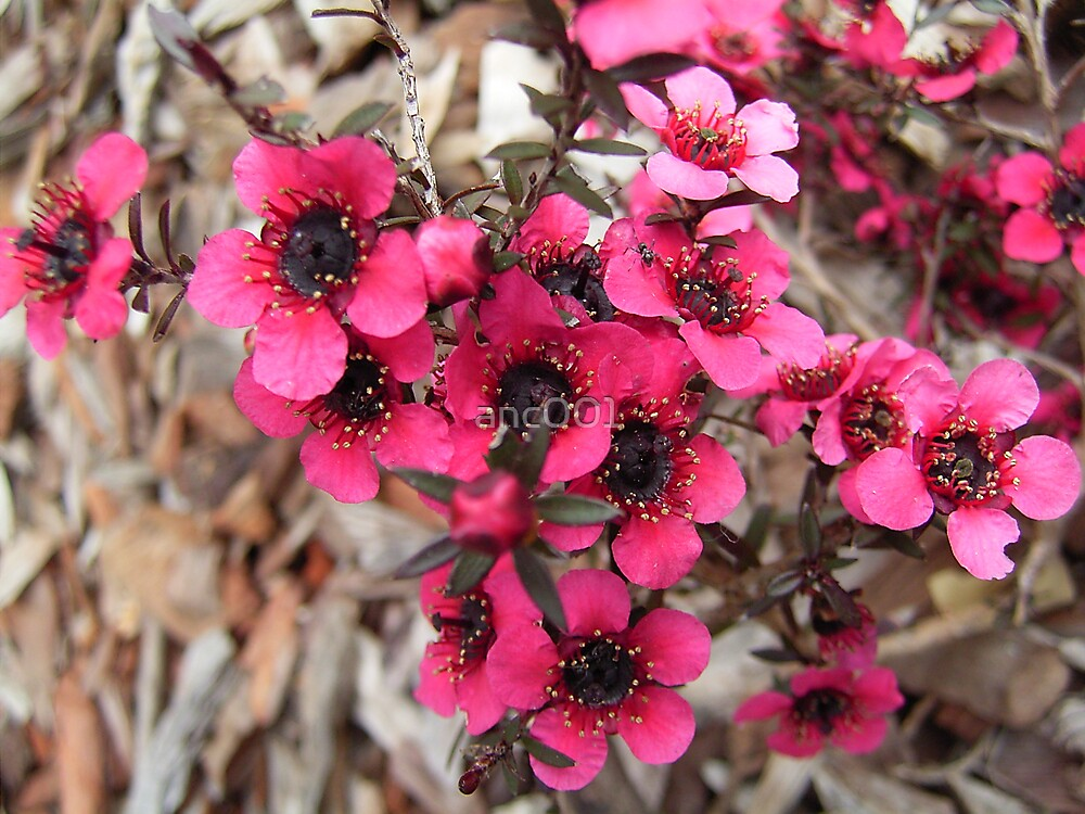 pink Leptospermum flowers by anc001