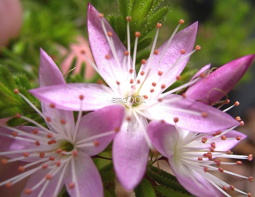 Callytrix tetragona flower by anc001