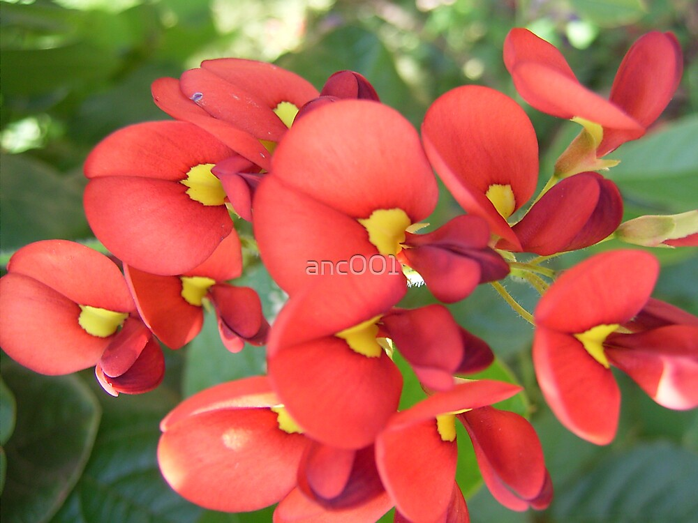 red and yellow Kennedia flowers by anc001