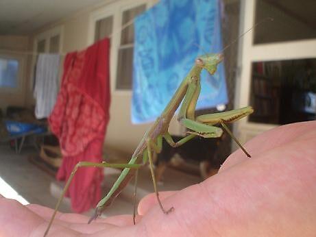 Praying Mantis by elizabethrose05