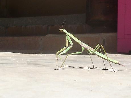 Praying Mantis 1 by elizabethrose05