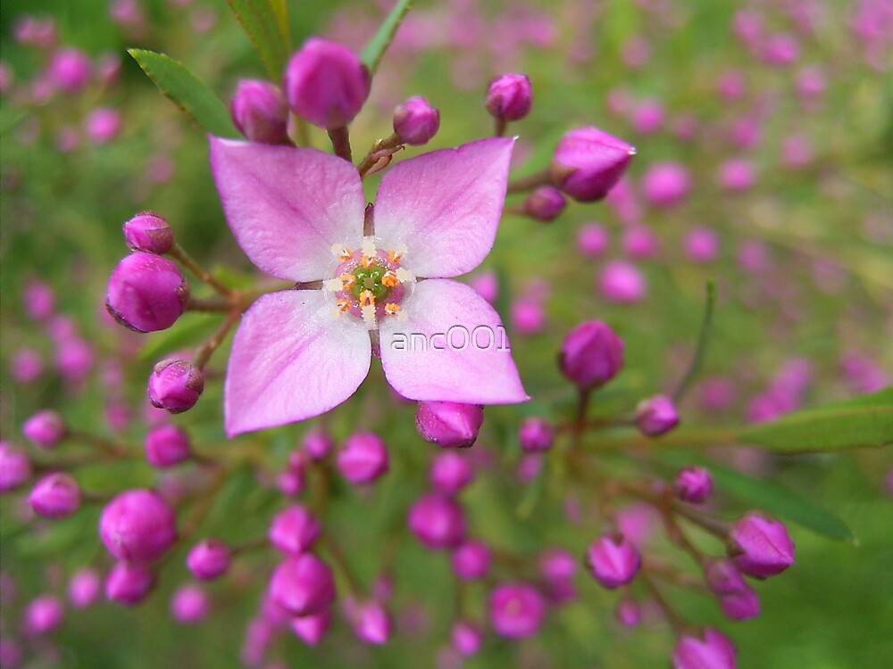 Boronia flower by anc001
