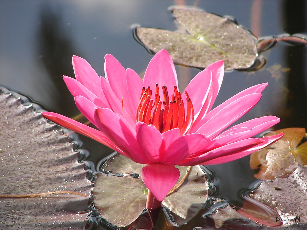 waterlily series - hot pink by PeaceM