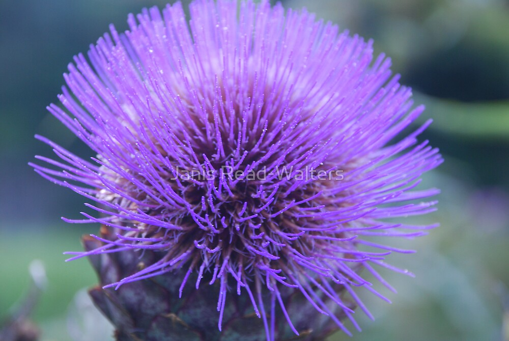 """Thistle"" by Janis Read-Walters"