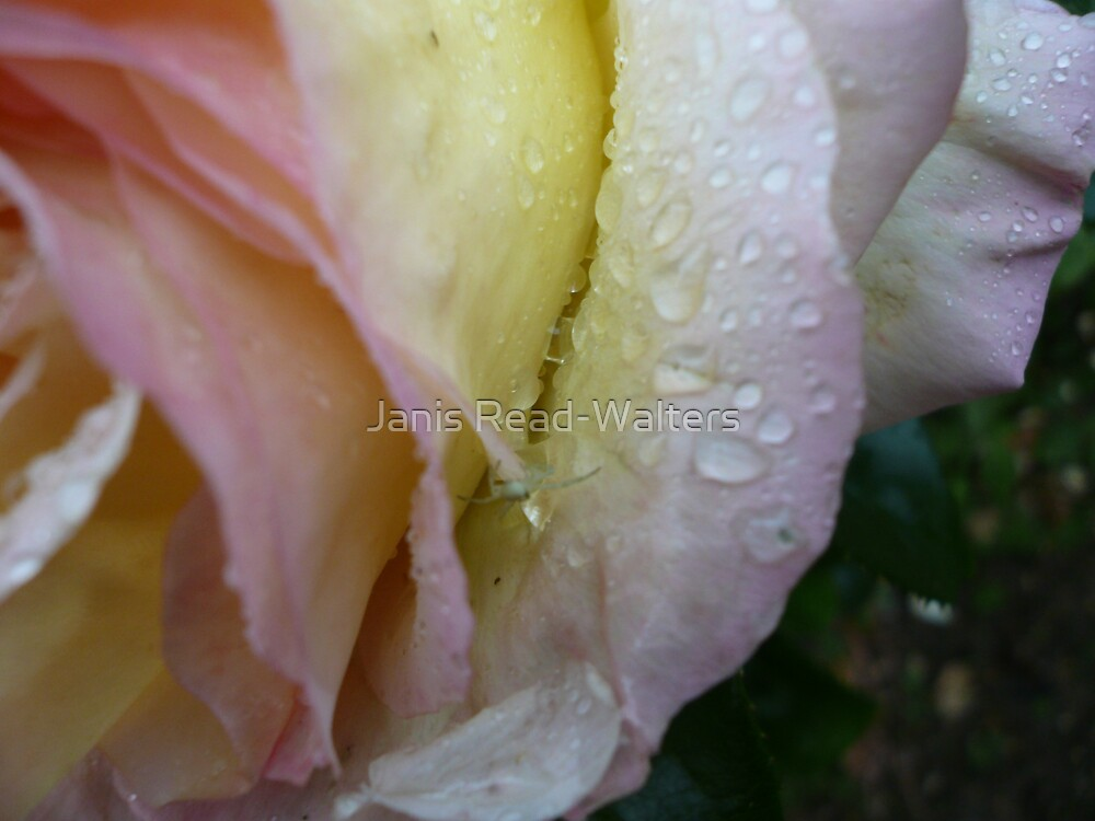 rain on petals by Janis Read-Walters