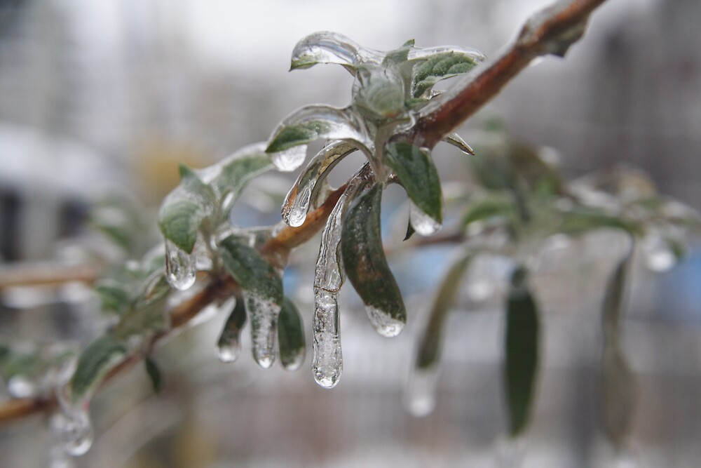 Iced Buddelia by Sheri Ann Richerson