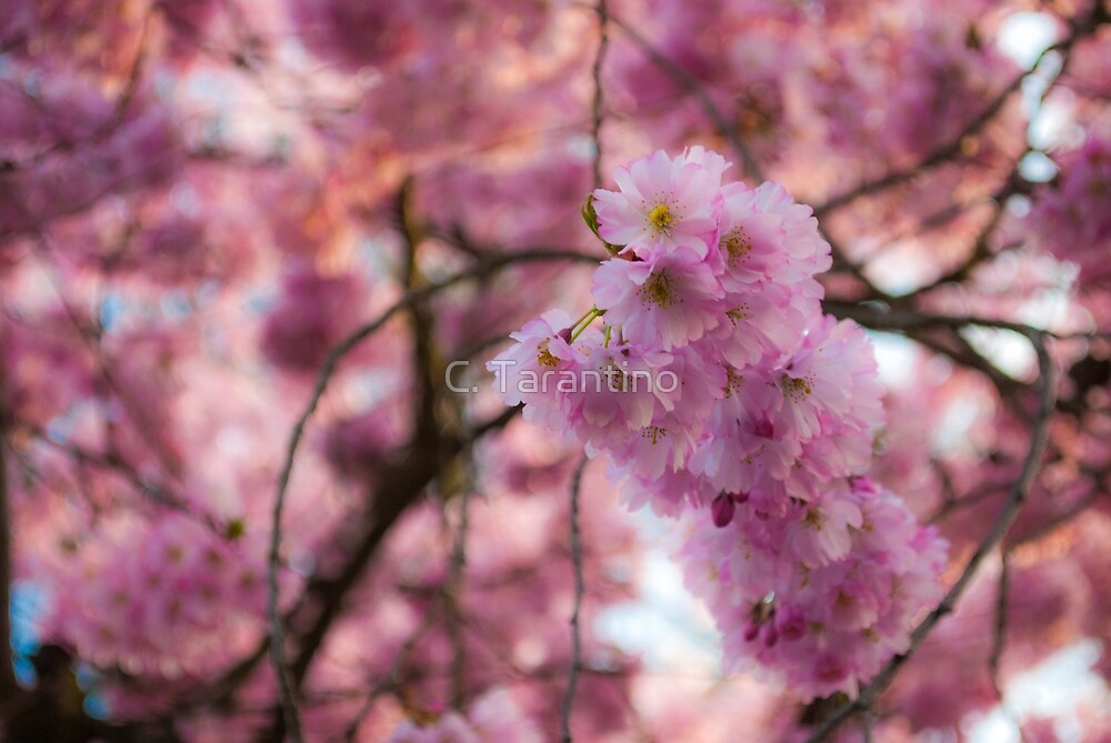 Pink Blossoms by C. Tarantino