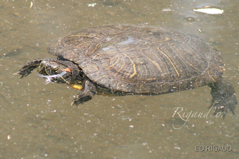 Turtle 20 by ED RIGAUD