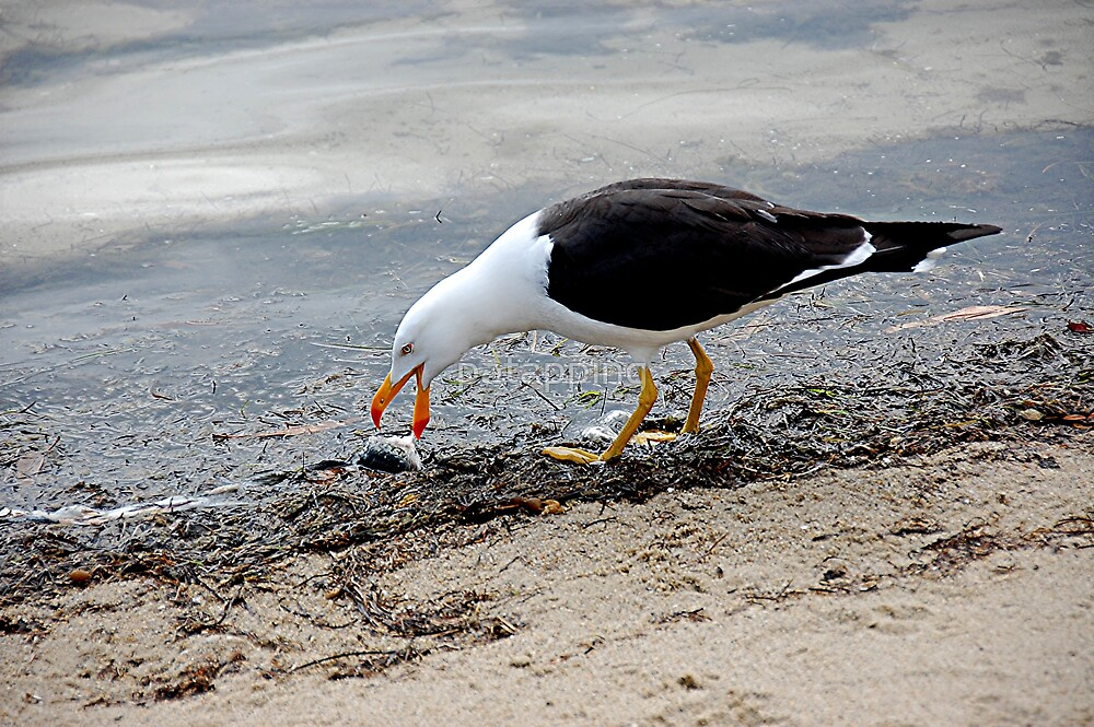Pacific Gull by patapping