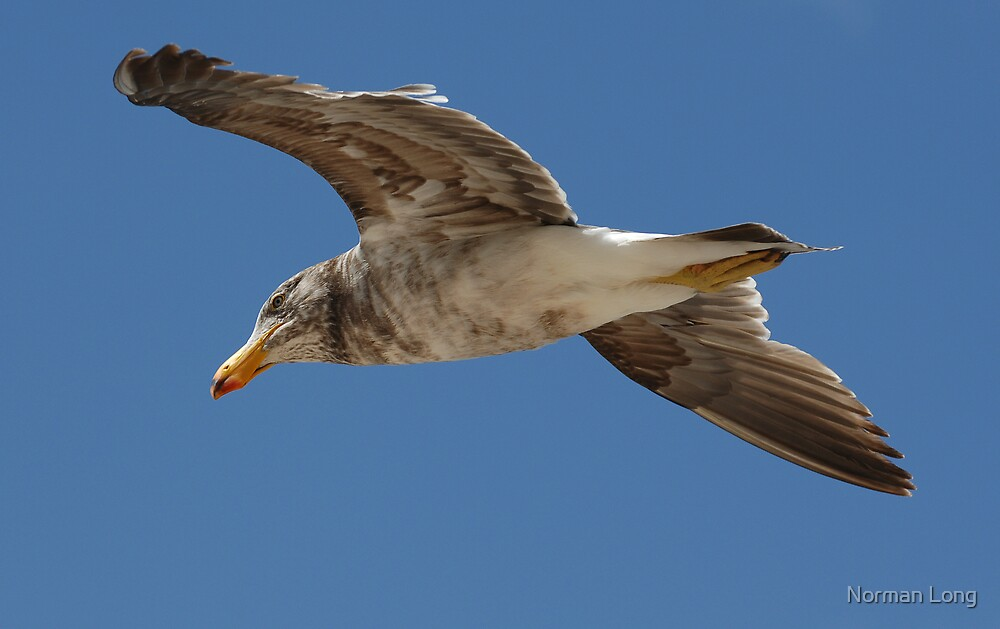 Pacific Gull Flyover by Norman Long