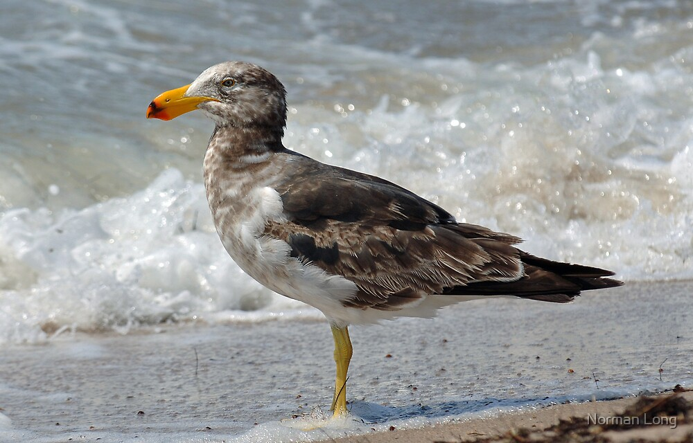 Pacific Gull- Juvenile by Norman Long