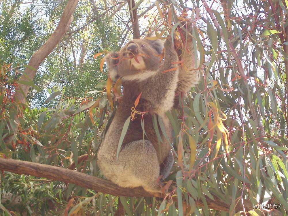 Koala in a Gum Tree  by lettie1957