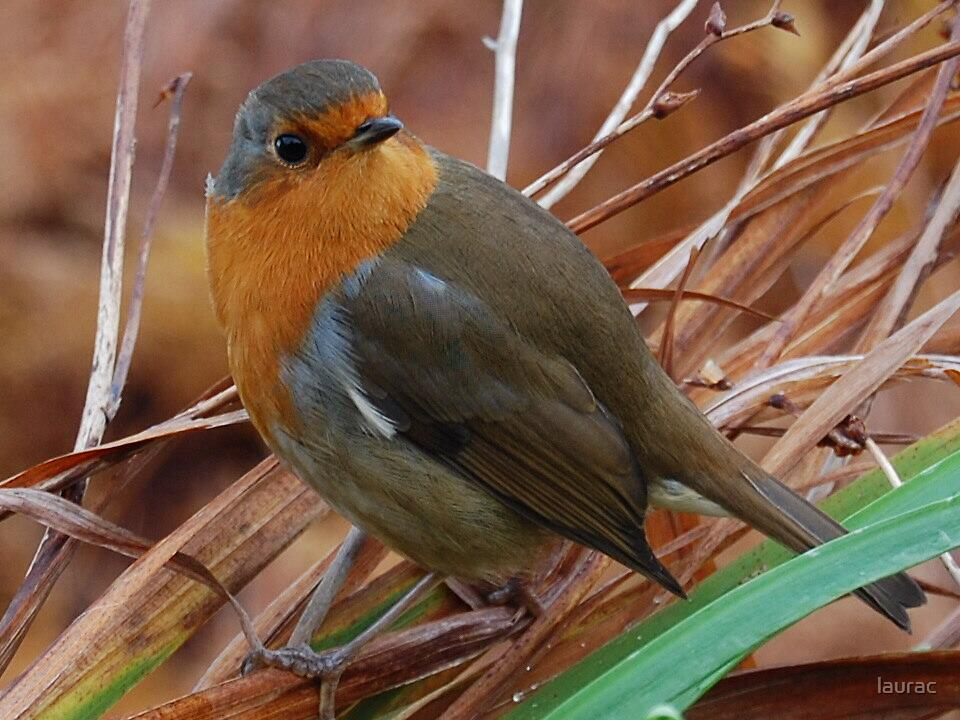 Robin red breast by laurac