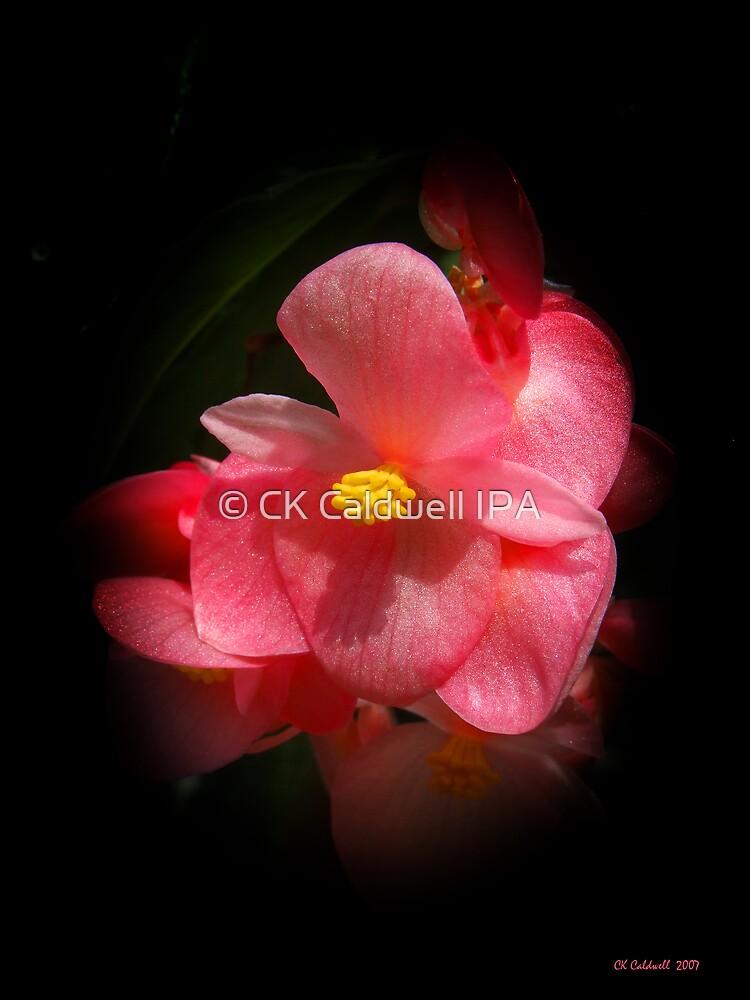 Begonia Beauties by © CK Caldwell IPA