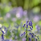 Bluebell woods by LightPhonics