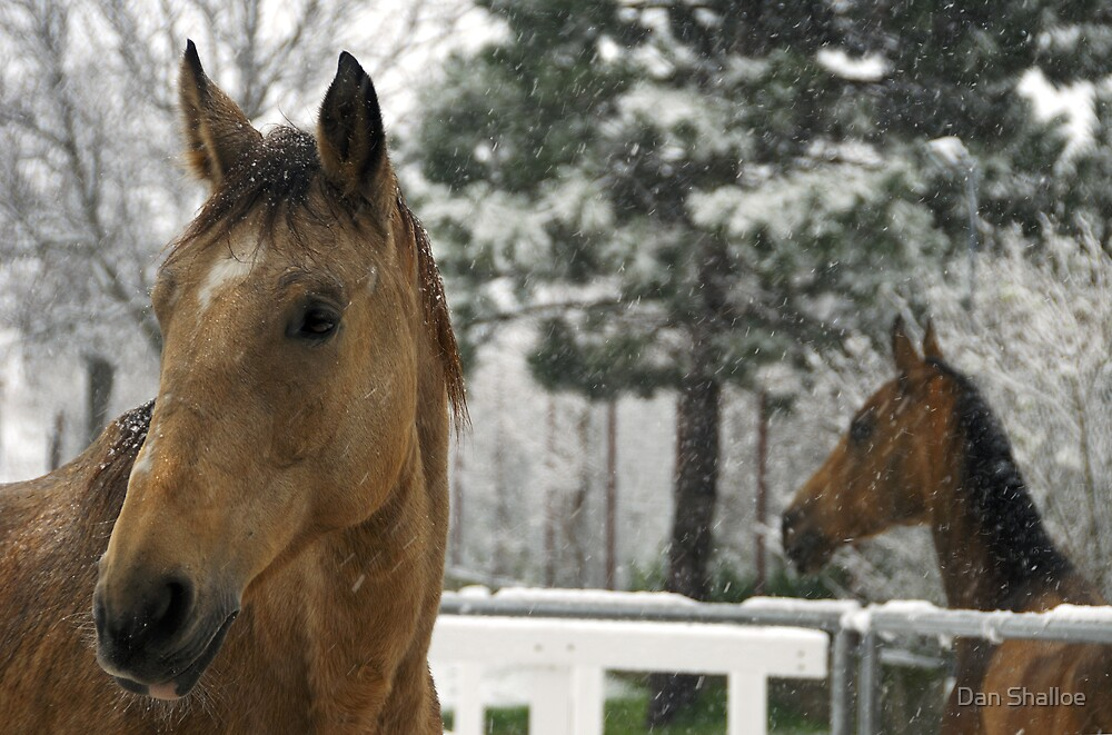 horses in the snow by Dan Shalloe