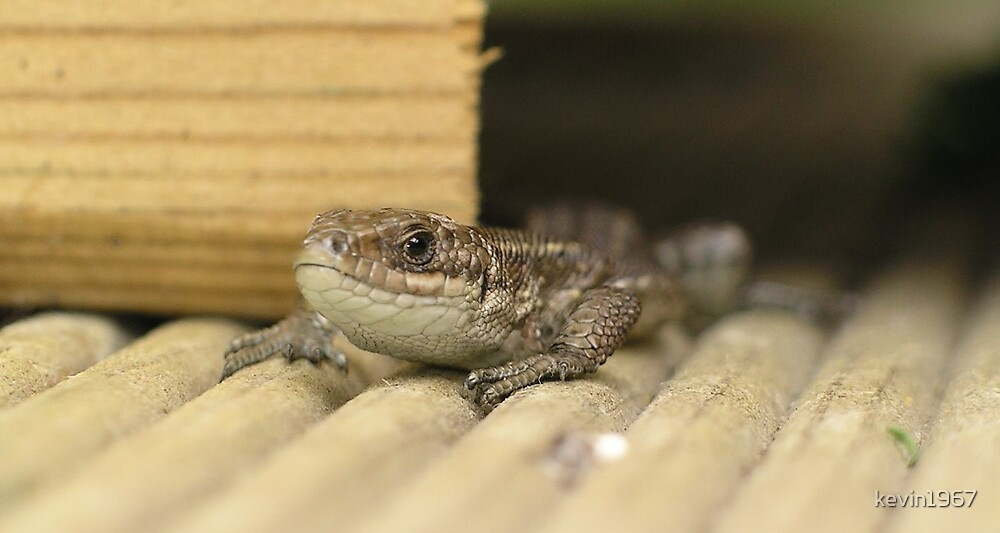 common lizzard by kevin1967