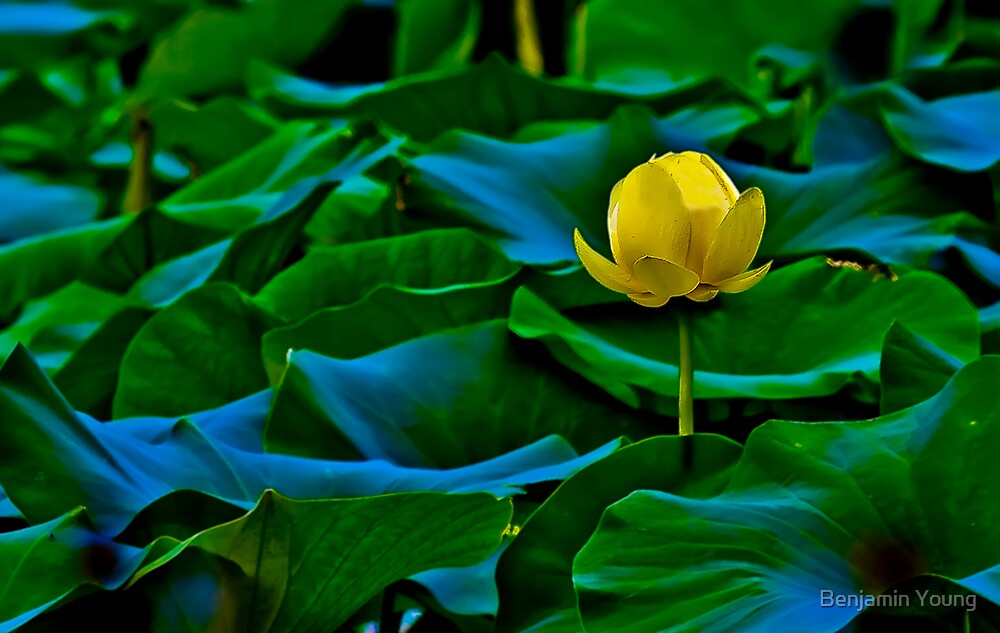 Evening Lotus by Benjamin Young