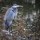 Great Blue Heron by Bob Hardy