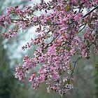 Flowering Crabapple in full bloom by Fred Moskey