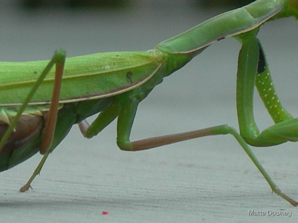 praying mantis by Matte Downey