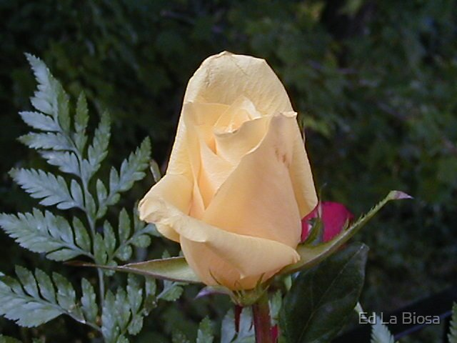 The Rose by labiosa