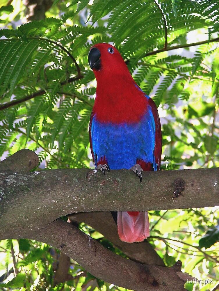 Female Eclectus Parrot by tathrapix