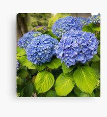 Blue hydrangea blooming bright blue flowers in the garden Canvas Print