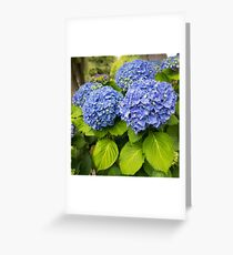 Blue hydrangea blooming bright blue flowers in the garden Greeting Card