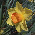 Daffodil Delight by Monnie Ryan