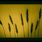 GOLDEN WHEAT  by Madeline M  Allen