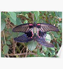 Mating butterflies  Poster