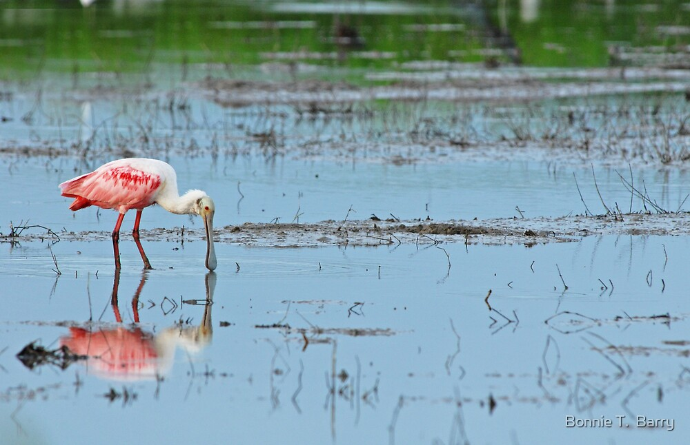 Roseate Spoonbill in Louisiana Rice Field by Bonnie T.  Barry