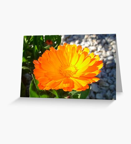 Bright Orange Marigold In Bright Sunlight Greeting Card