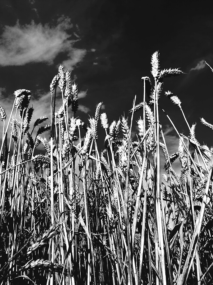 Wheat in Black and White by Charlotte-Emily Edgell