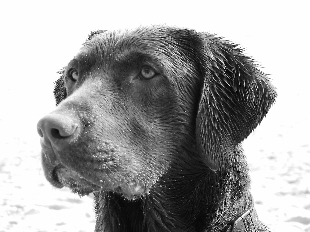 Chocolate Lab by Charlotte-Emily Edgell