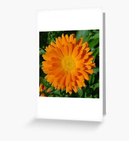 Orange Marigold Close Up With Garden Background Greeting Card