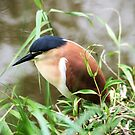 Night  heron by cs-cookie