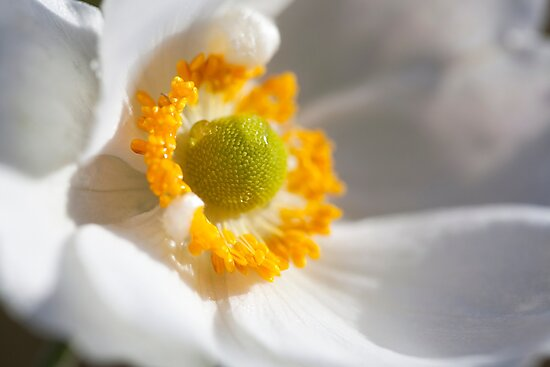 japanese anemone by codaimages