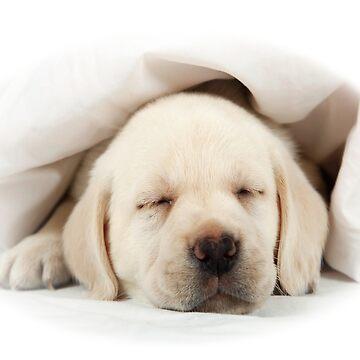 Labrador Puppy blanco de storebycaste